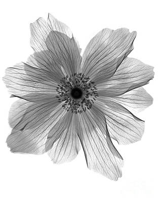 Photograph - Ranunculus Flower X-ray by Bert Myers
