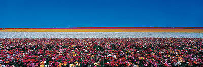 Tuber Photograph - Ranunculus Flowers Carlsbad Ranch by Panoramic Images