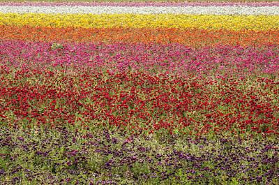 Photograph - Ranunculus Flowers by Lee Kirchhevel