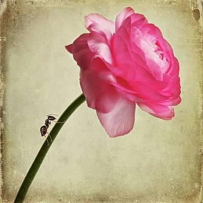 Ant Photograph - Ranunculus by Jasenka Arbanas