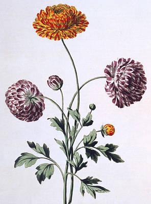 Ranunculus Painting - Ranunculus by John Edwards