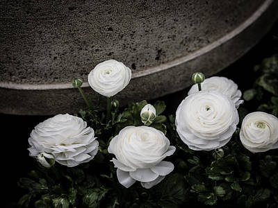 Photograph - Ranunculus White by Rebecca Cozart
