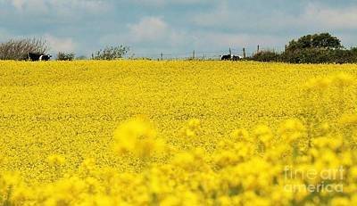 Photograph - Rapeseed And Cows by Katy Mei