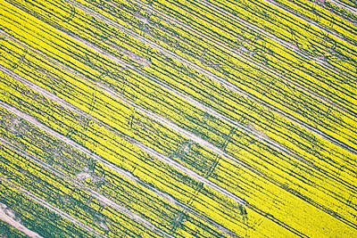 Bird Tracks Photograph - Rapeseed Field by Tom Gowanlock