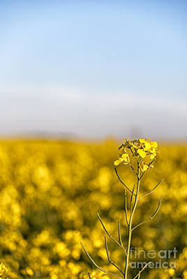 Abstract Shapes Janice Austin Royalty Free Images - Rapeseed flower Royalty-Free Image by Antony McAulay