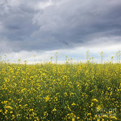 Photograph - Rapeseed Flower Field With Storm Clouds by Sandra Cunningham