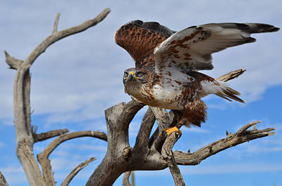 Ferruginous Hawk Photograph - Raptor Flight by Barbara Manis