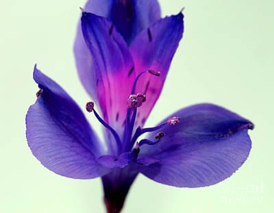 Amaryllis Photograph - Rare Beauty by Krissy Katsimbras