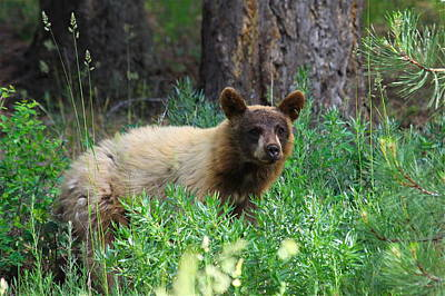 Photograph - Rare Black Bear Cub Cinnamon Red by Karon Melillo DeVega