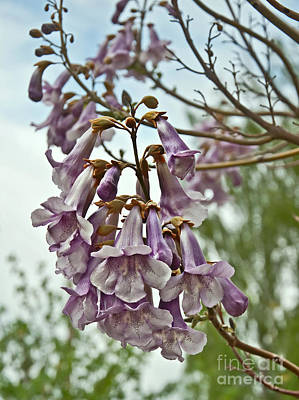 Photograph - Rare Foxglove Tree Paulownia Tomentosa Blooms by Valerie Garner