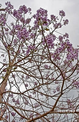 Rare Foxglove Tree - Paulownia Tomentosa  Art Print