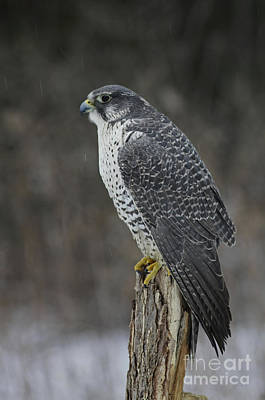 Gyr Falcon Photograph - Rare Gyrfalcon Raptor In The Snow by Inspired Nature Photography Fine Art Photography