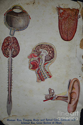 Rare Medical Illustration 2 Of 4 Art Print by Paul Ward