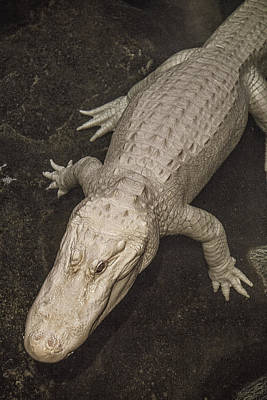 Rare White Alligator Print by Garry Gay