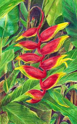 Lush Drawing - Rarotongan Heliconia by Barbara Ebeling
