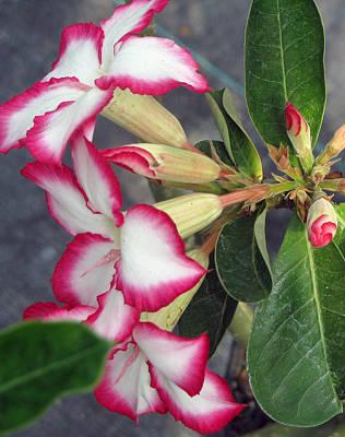 Photograph - Rasberries by Debi Singer