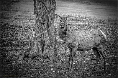 Photograph - Raspberry Elk Black And White by LeeAnn McLaneGoetz McLaneGoetzStudioLLCcom