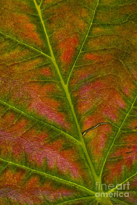 Photograph - Raspberry Leaf In Autumn by William H. Mullins