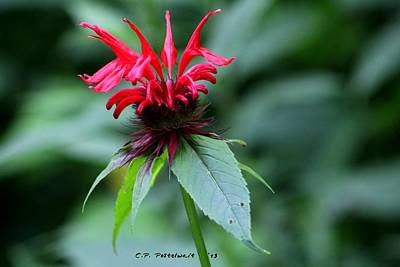 Photograph - Raspberry Monarda by Carolyn Postelwait