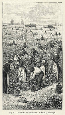 Raspberry Drawing - Raspberry Picking At Histon by Mary Evans Picture Library