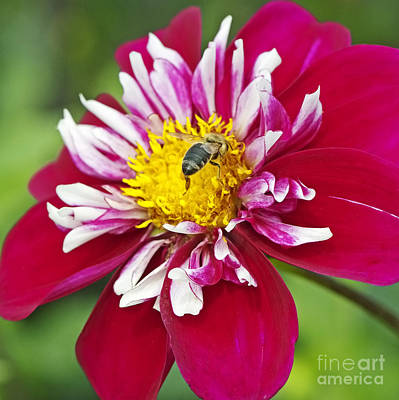 Bee On Flower Photograph - Raspberry Sky Dahlia With Honeybee by Sharon Talson