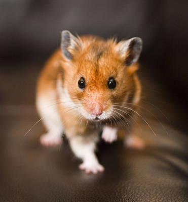 Syrian Hamster Photograph - Ratty The Hamster by Rachel Down