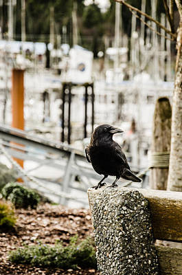 Photograph - Raven Around Ucluelet  by Roxy Hurtubise