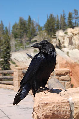Photograph - Raven At Bryce Canyon by Debra Thompson