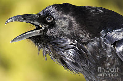 Photograph - Raven Calling by Dee Cresswell