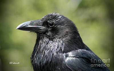 Photograph - Raven by E B Schmidt