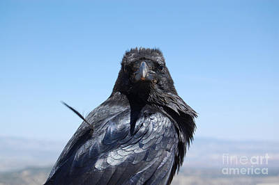 Photograph - Raven Looking Forward by Debra Thompson