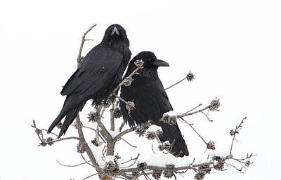 Photograph - Raven Lovers by Deby Dixon