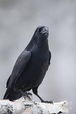Raven On A Birch Log Art Print by Tim Grams