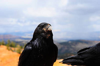 Photograph - Raven Portrait by Donald Fink