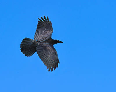 Photograph - Raven by Tony Beck