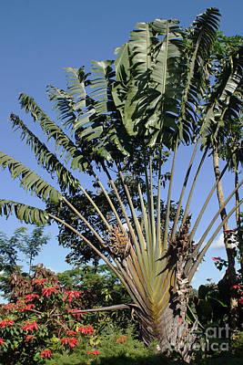 Photograph - Ravenala Palm Tree Madagascar by Rudi Prott