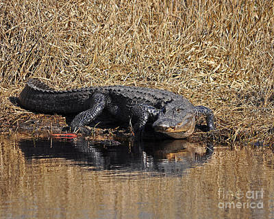 Suwannee River Photograph - Ravenous Reptile by Al Powell Photography USA