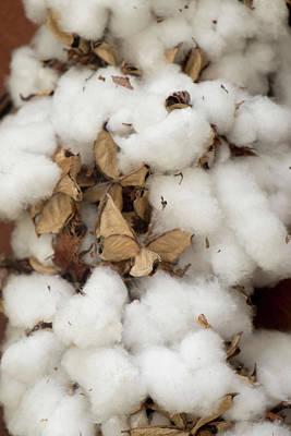 Raw Cotton Charleston, South Carolina Art Print
