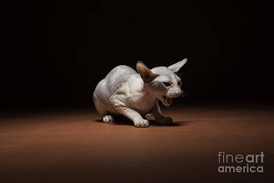 Hairless Cat Photograph - Rawr by Darcy Evans
