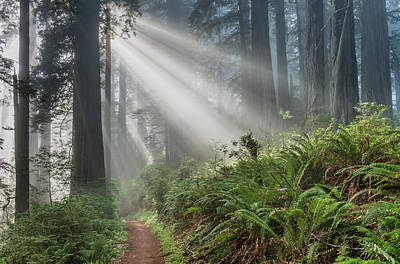 Photograph - Rays And Redwoods 1 by Greg Nyquist