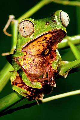 Anuran Photograph - Razor Backed Monkey Frog Phyllomedusa by David Northcott