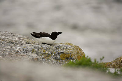 Razorbill Wall Art - Photograph - Razorbill Alca Torda, A Big Diving Bird by Jose Azel