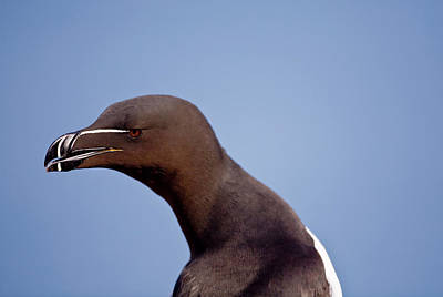 Razorbill Wall Art - Photograph - Razorbill Alca Torda,  Portrait by James Silverthorne