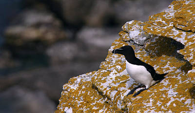 Razorbill Wall Art - Photograph - Razorbill Bird by Dreamland Media