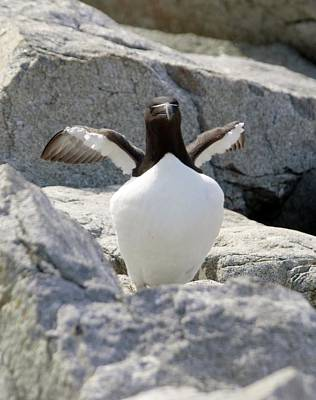 Razorbill Extends Wings Original by Lena Hatch