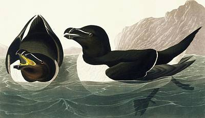 Razorbill Wall Art - Photograph - Razorbill by Natural History Museum, London/science Photo Library