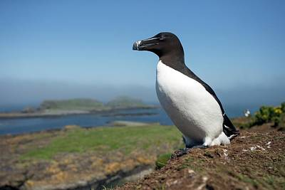 Razorbill Wall Art - Photograph - Razorbill On A Coastal Ledge by Simon Booth
