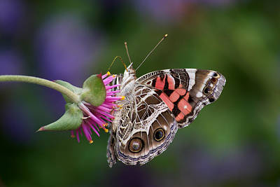Photograph - Reaching For Nectar by Cornelis Verwaal