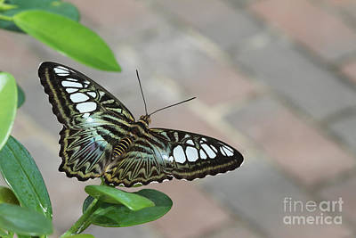Brown Clipper Photograph - Ready For Flight by Judy Whitton