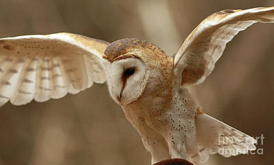 Ready For Take Off Barn Owl In Flight Print by Inspired Nature Photography Fine Art Photography